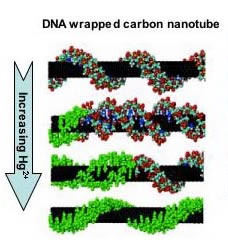 DNA-wrapped carbon nanotubes serve as sensors in living cells