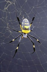 Nephila Senegalensis (Golden orb weaving spider).Credit: Oxford Silk Group