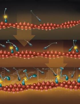 New measurements prove myosin VI can act as molecular transporter