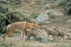Vaccine could ensure a future for the endangered wolves. Credit:Claudio Sillero