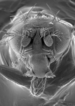 Drosophila, scanning electron micrograph