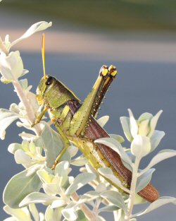 Locust, Schistocerca obscura