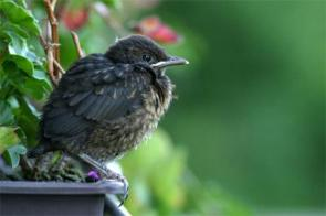 'Stress and the city': Urban birds keep cool