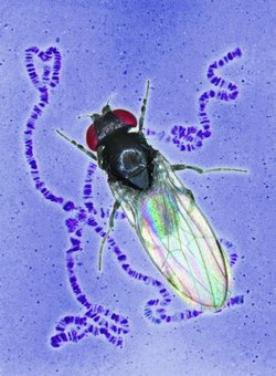 Evolution of Old World fruit flies on three continents mirrors climate change