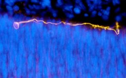 Earliest identified human cortical neuron