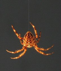 Araneus diadematus spider dangling from its thread.