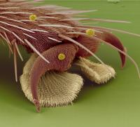 Electron microscope image of a fly foot