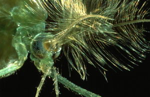 Chironomid mosquito. The plumose antannae serve as hearing organs
