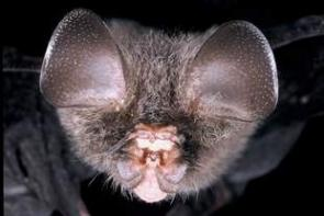 Bats More than Just Another Pretty Face