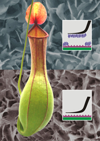 The pitfall trap of the pitcher plant Nepenthes alata