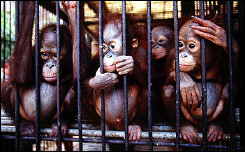 A group of orphaned Orangutans sit in a cage at the Wanariset Orangutan Rehabilitation Centre