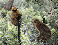 Barbary Macaques (Macaca sylvanus) at a monkeys park in Algeria