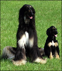 South Korea\'s first cloned dog,