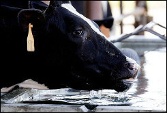A dairy cow drinks water from a trough