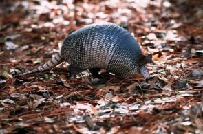 Armadillos Marching North to Illinois (AP)
