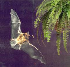A bat locates an insect tethered near a plant