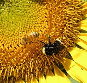 Wild bees make honey bees better pollinators