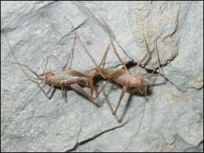Researchers chirping over discovery of new cricket genus