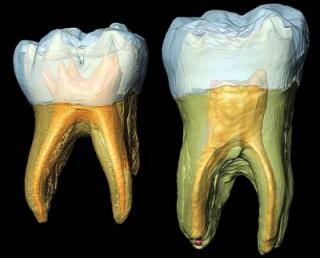 Daily grind: Fossil molars add to Neanderthal debate