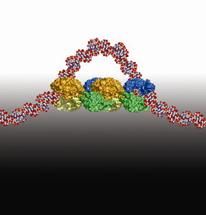 Stretch a DNA Loop, Turn Off Proteins