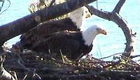 Celebrate July 4th with Bald Eaglets – Live on the Web!