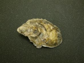 Rising Ocean Temperatures, Pollution Have Oysters in Hot Water