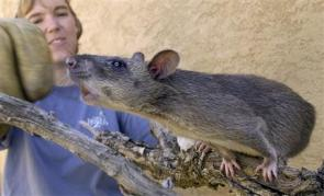 Feds Collect Giant Rats in Florida (AP)