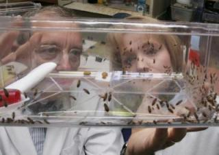 German cockroaches winning the war against pest control baits