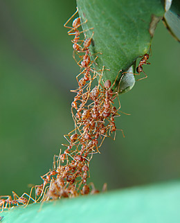 Swarm behavior: Ants collaborate to form a living bridge
