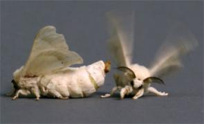Mate-Seeking Fruit Flies Fooled by Silkworm Scent