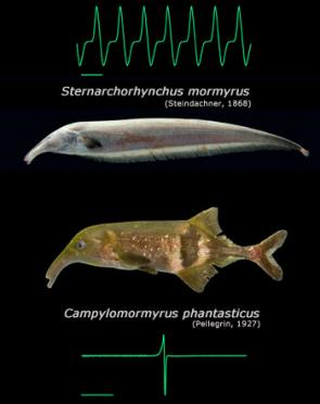 Convergent evolution of molecules in electric fish