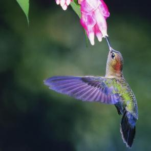 Researchers discover hummingbird secret