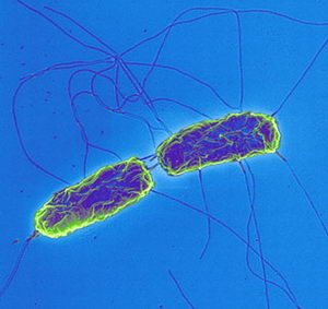 Evolution of typhoid bacteria