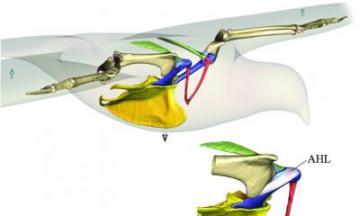 Shoulder ligament a linchpin in the evolution of flight