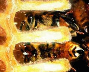 Why do some queen bees eat their worker bee's eggs?
