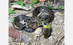 Essay on poisonous and nonpoisonous snakes