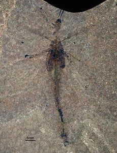 Scientists discover first fossil of a leaf insect