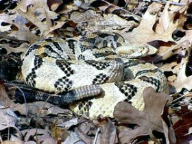 Researchers track snakes to study populations, behavior