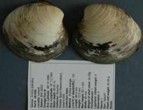 400 Year Old Clam Found -- Oldest Animal Ever