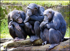 Chimpanzees at a zoo