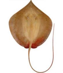 A Hortle's Whipray