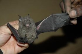 Bat Species New to Science
