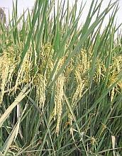 Biologists Develop Large Gene Dataset for Rice Plant
