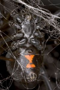 Biologists unravel the genetic secrets of black widow spider silk