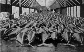 Bluefin Tuna Fill a Danish Auction Hall, 1946