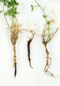 Brown root rot -- a potentially serious forage crop disease -- is found throughout the Northeast