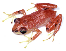 Caribbean Amphibians Started with a Single, Ancient Voyage on a Raft from South America