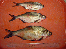 Deadly fish virus VHSV spreading throughout Great Lakes Basin