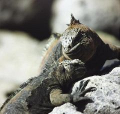 Female iguanas pay high costs to choose a mate