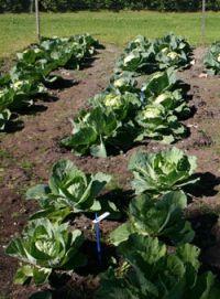 Fertilized Cabbage